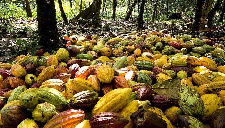 Cacao de Chuao